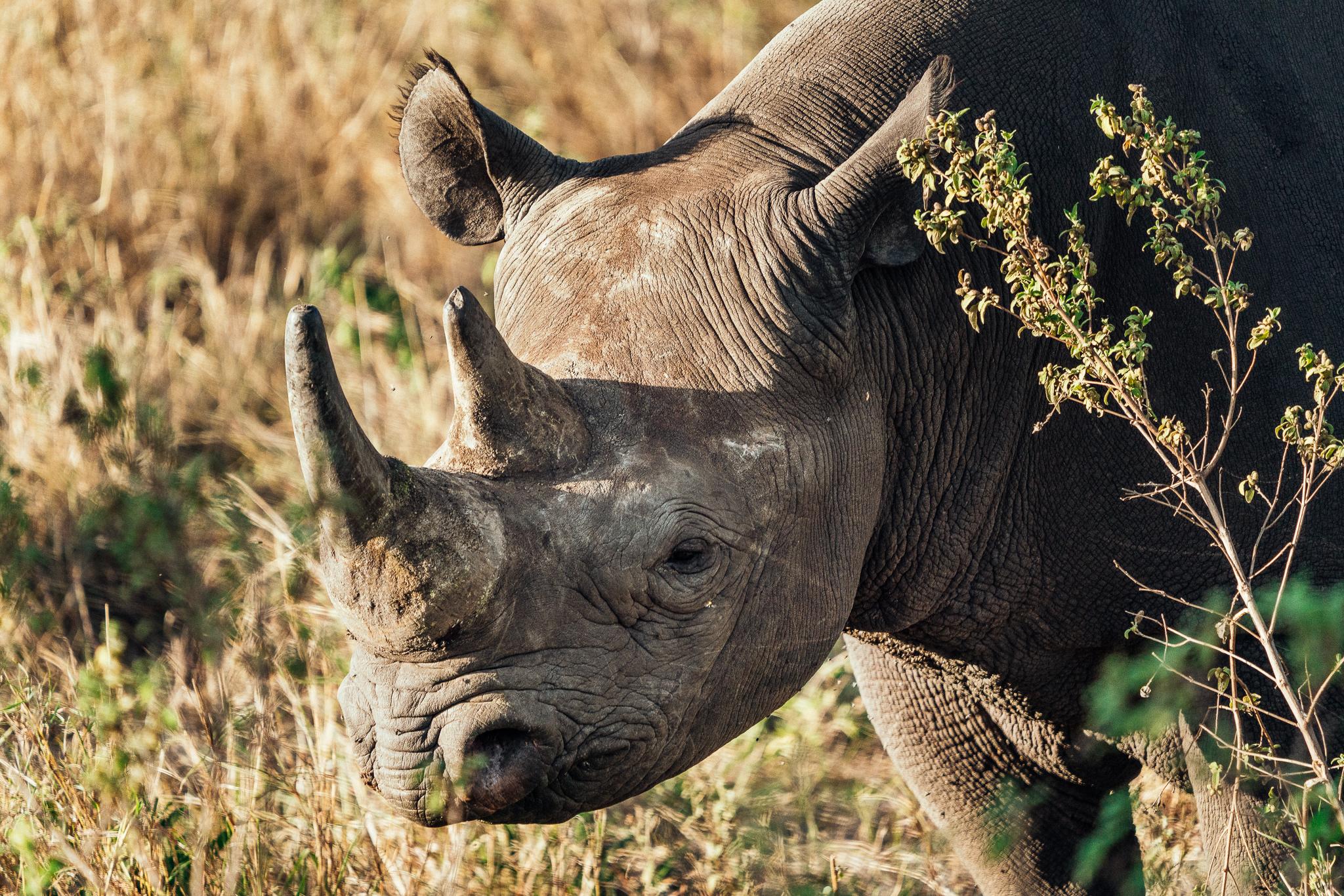 Rhino in the Maasai Mara Ph. Dave Krugman