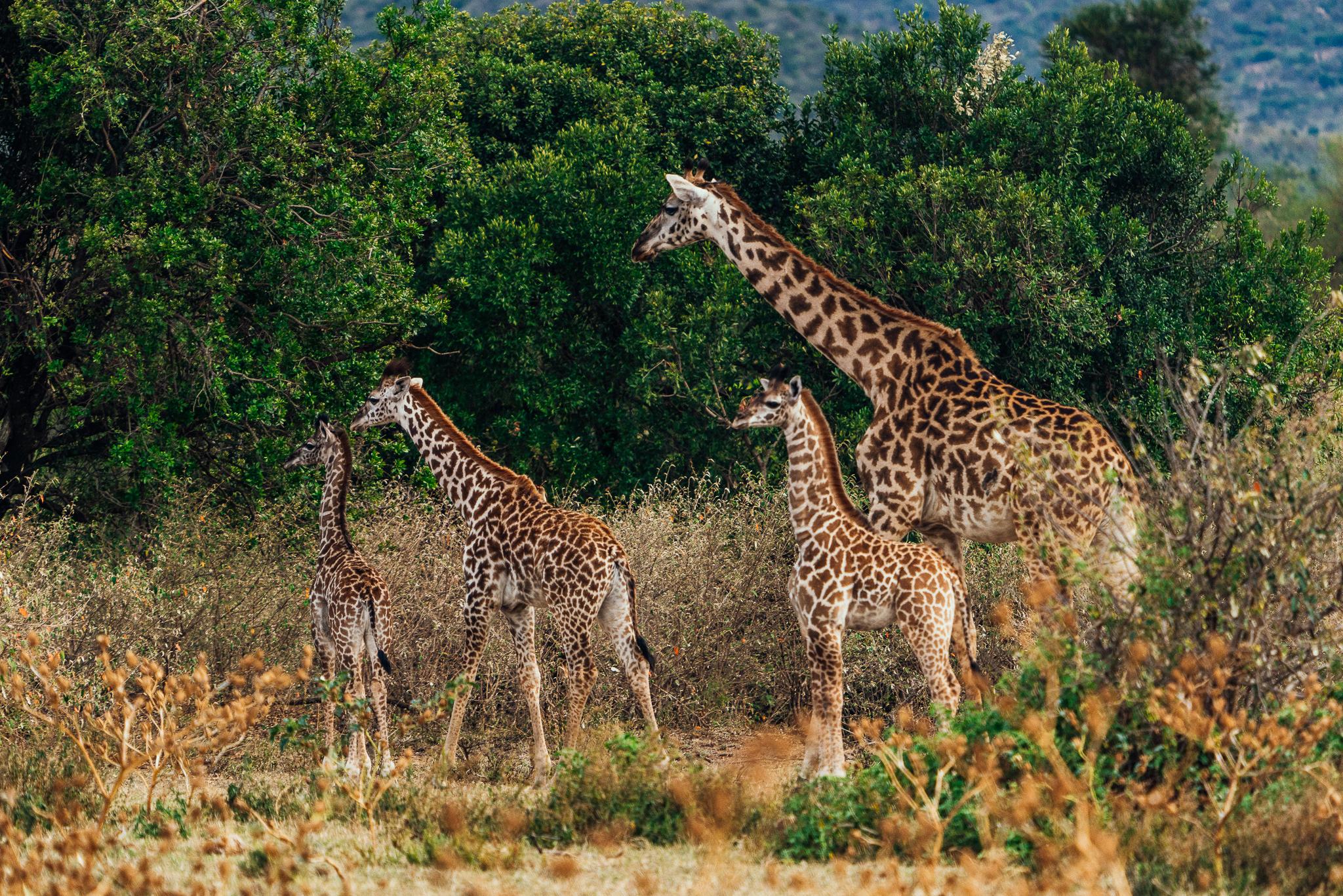 Giraffe family in Maasai Mara Kenya on Safari Ph. Dave Krugman