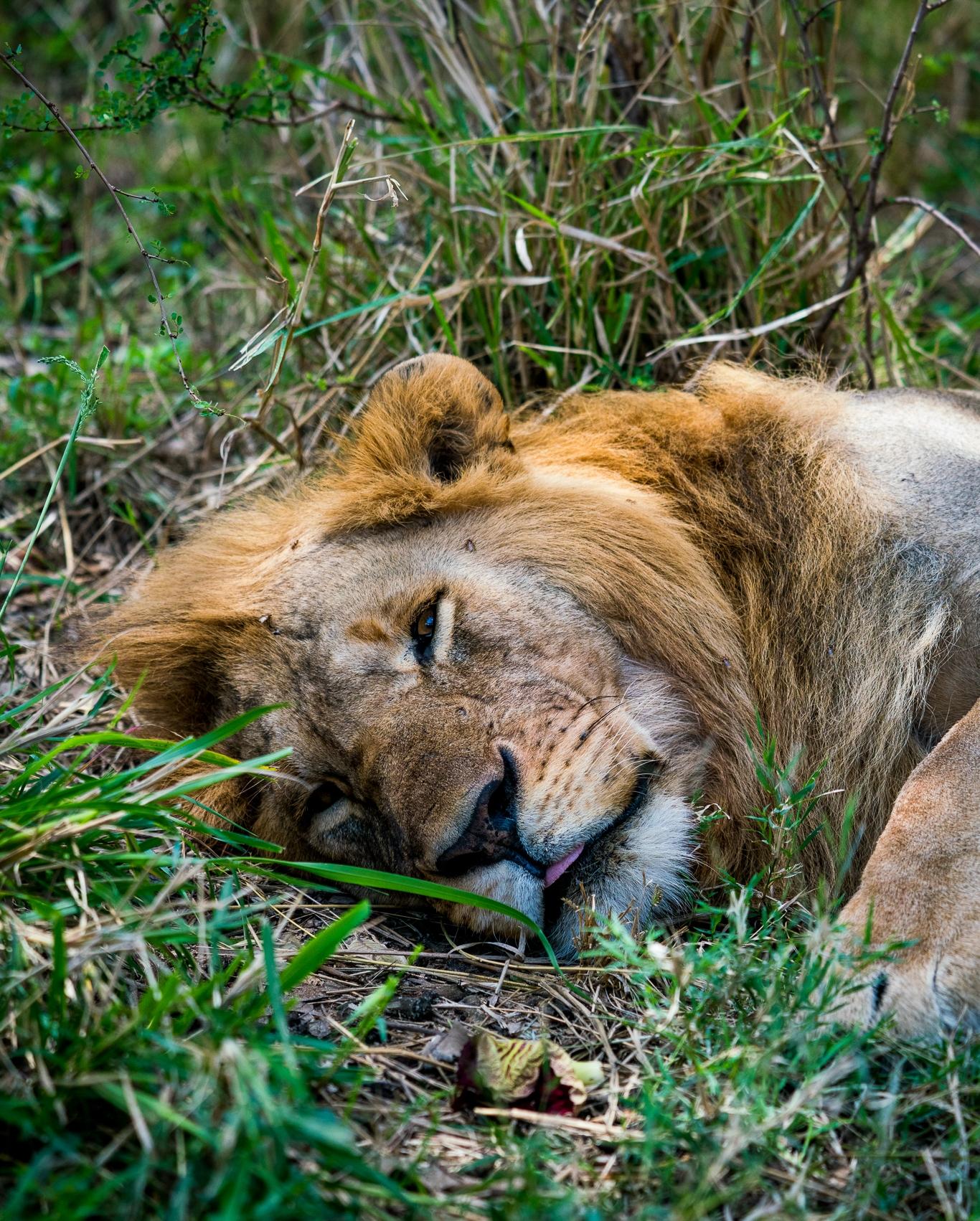 Male Lion resting in Maasai Mara - Kin Travel Ph. Dave Krugman