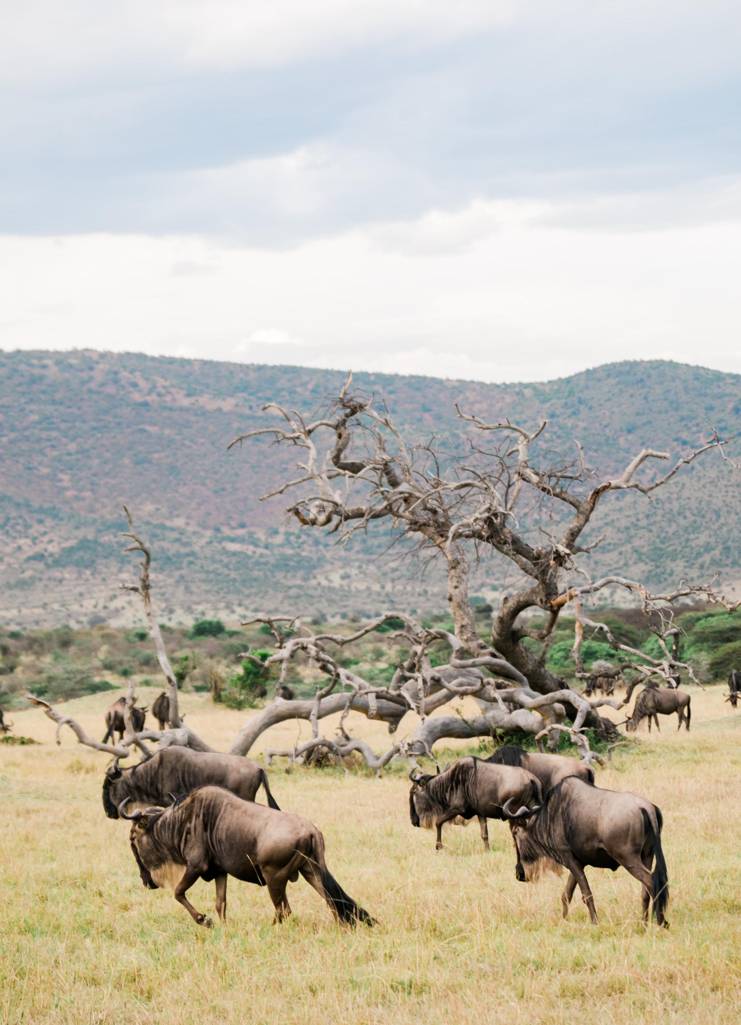 Wildebeest in Massai Mara - great migration Ph. Valorie Darling