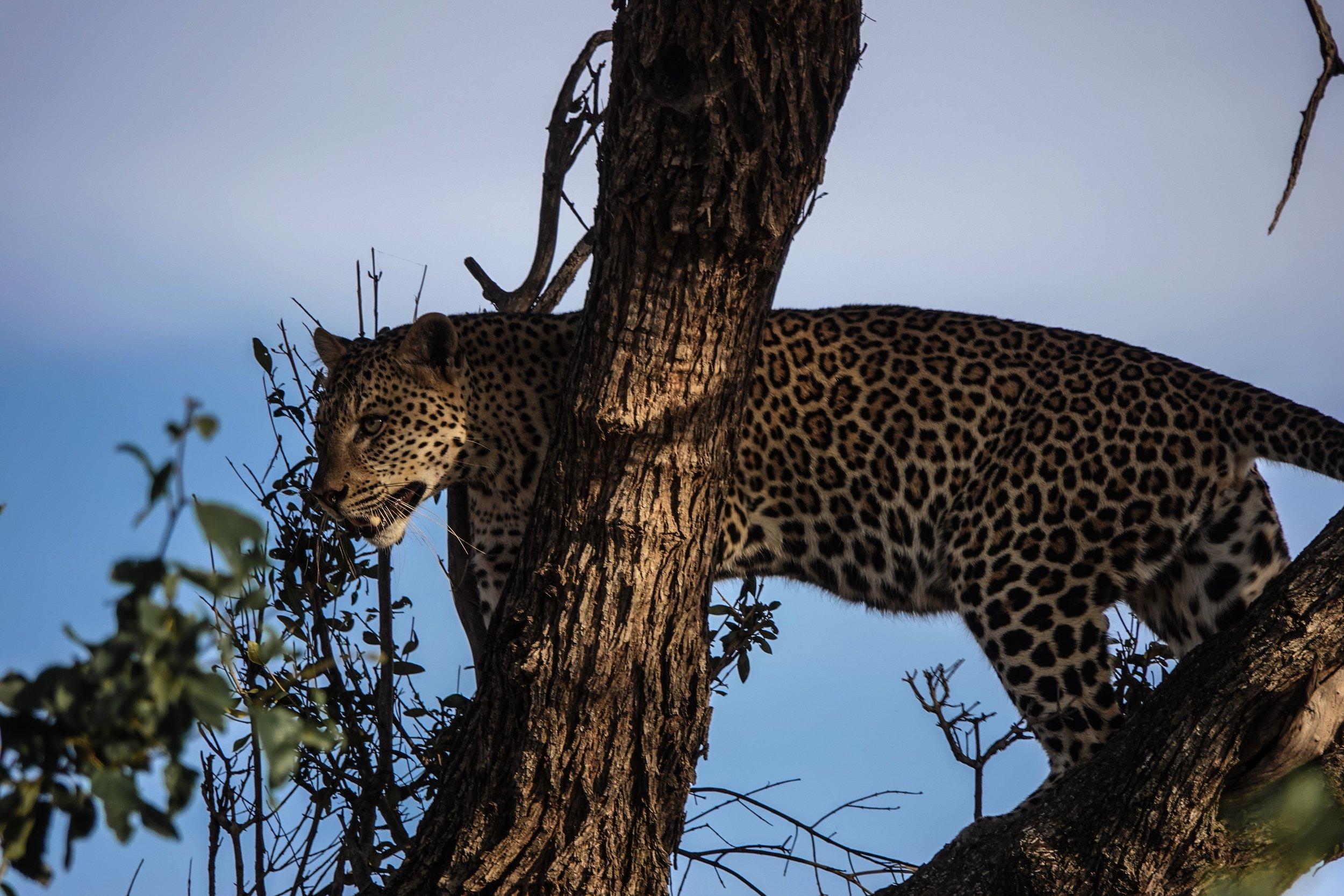 Leopard spotting on Safari in Kenya