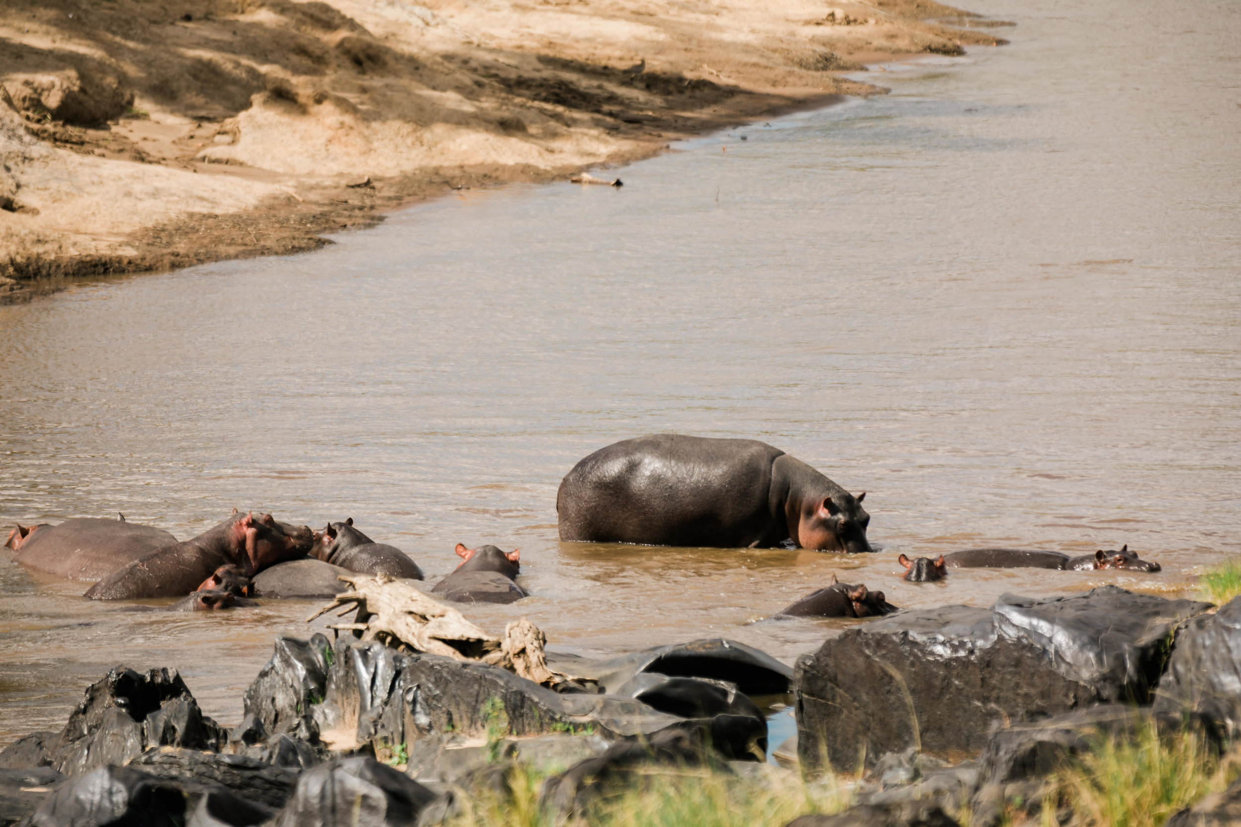 Hippos in the Maasai River Ph. Valorie Darling