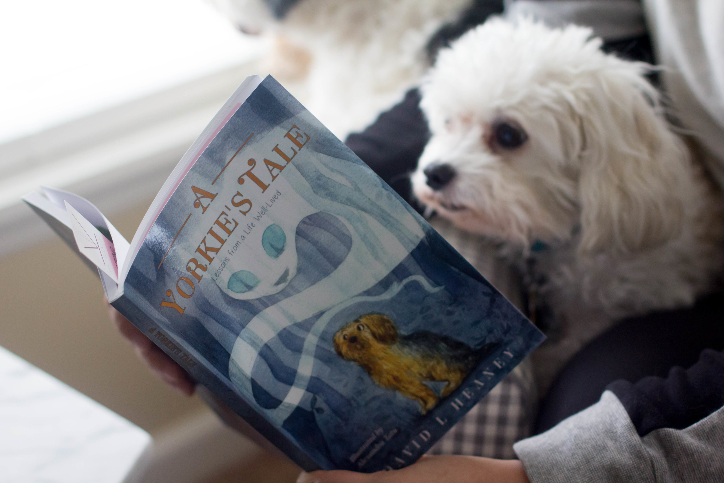 Reading A Yorkie's Tale by David Heaney at home with Truman