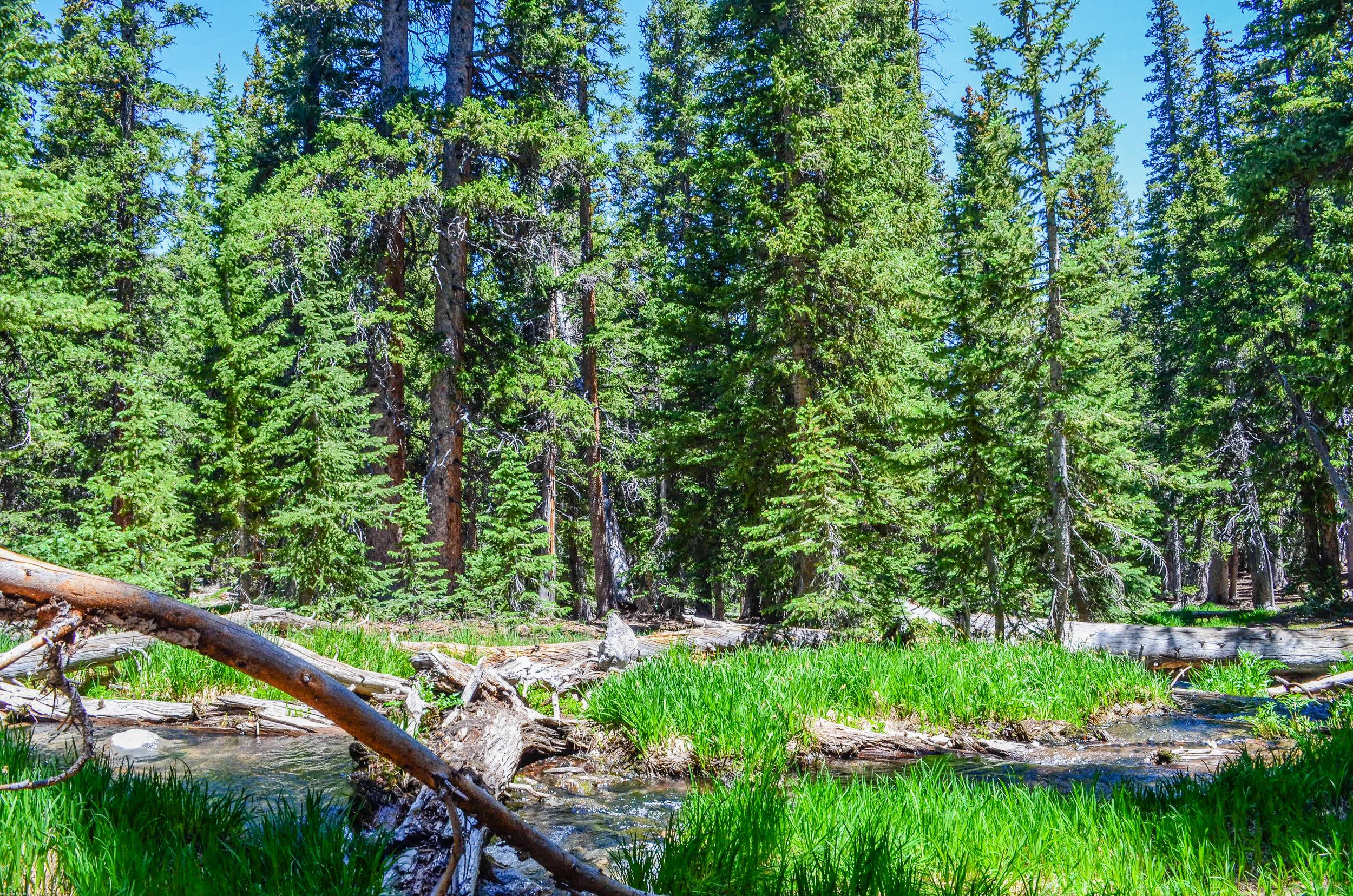 Part of the high alpine conifer forest off Wheeler Peak Summit Trail