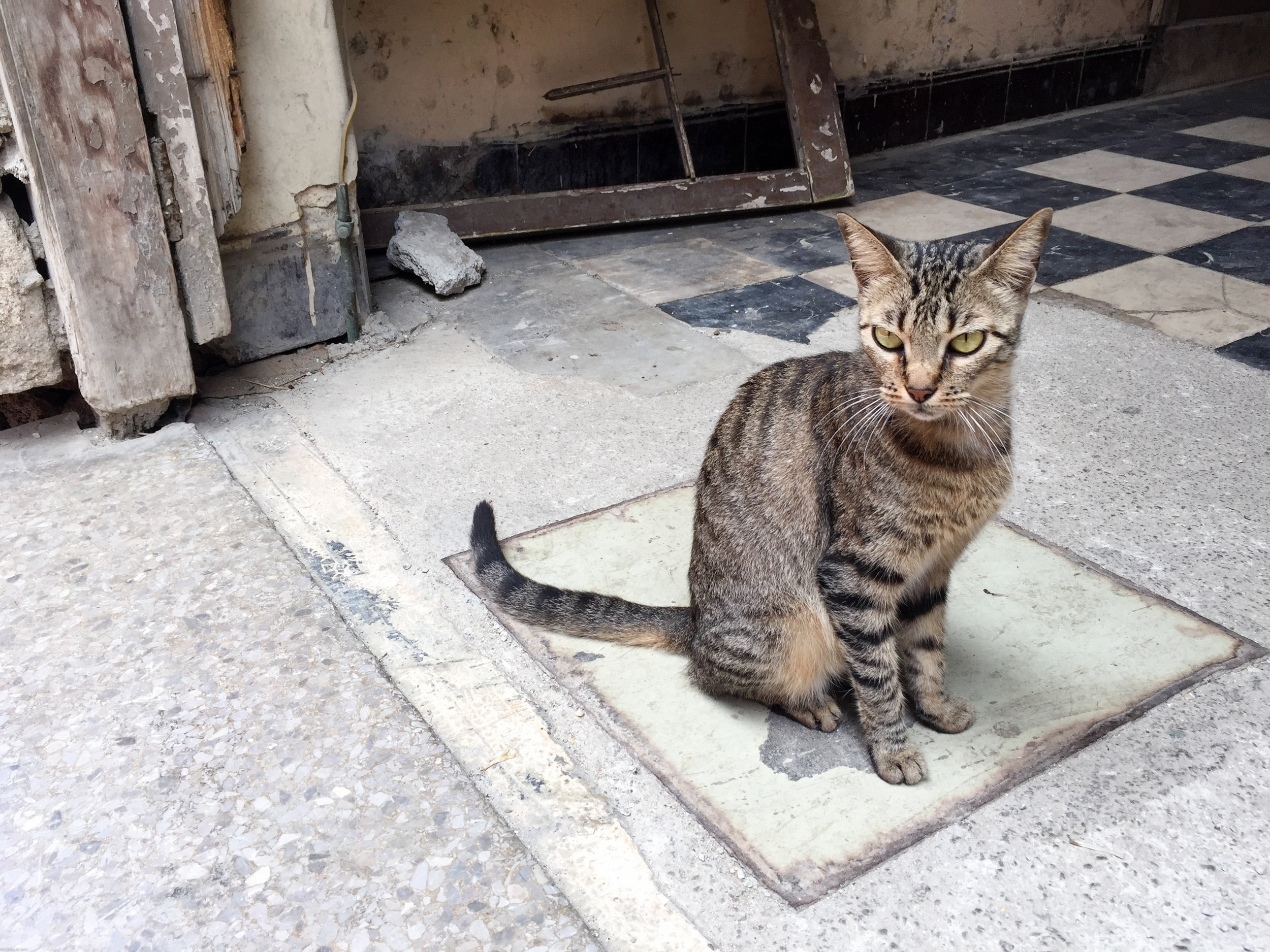 Beautiful cat sitting in a doorway along some narrow Havana streets