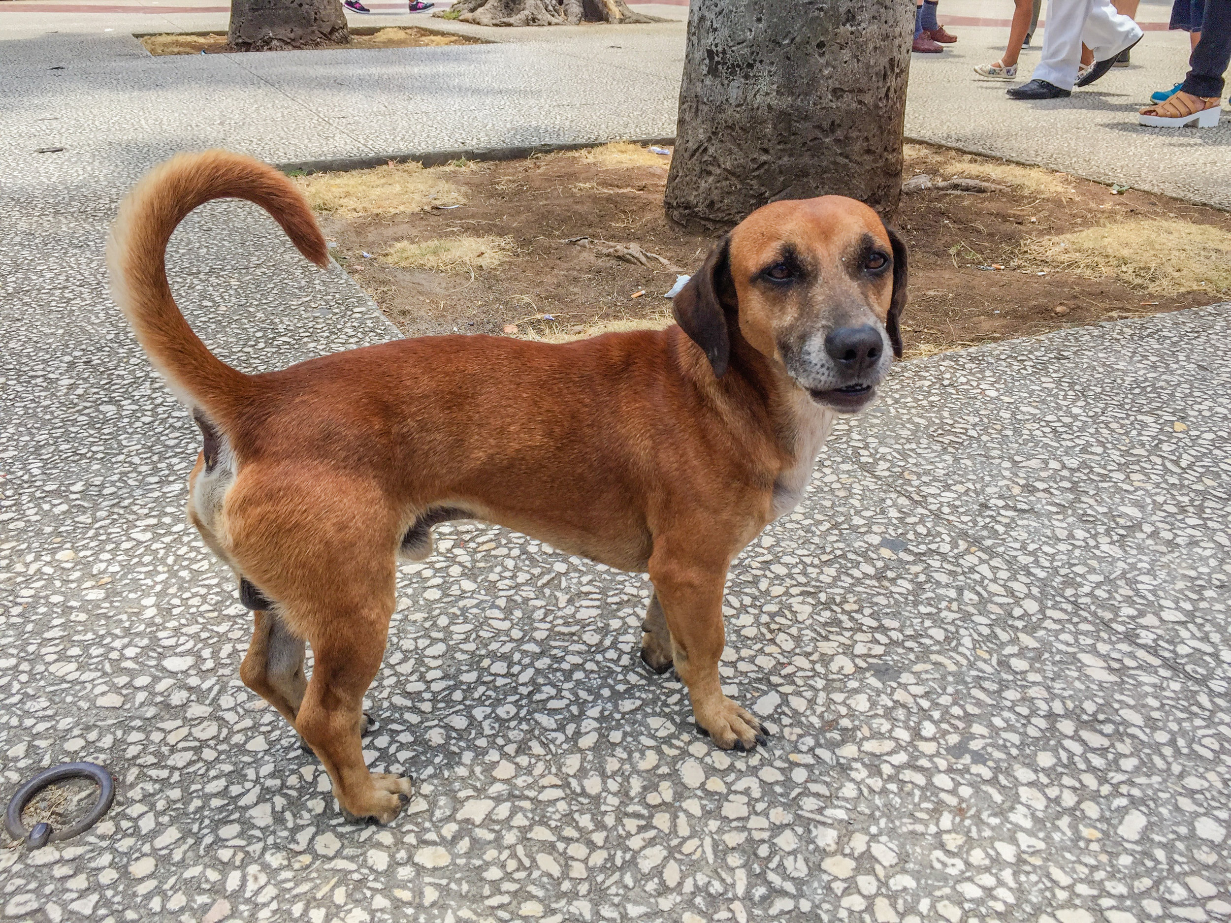 Found this guy trotting through a plaza in Havana. What a handsome fellow!