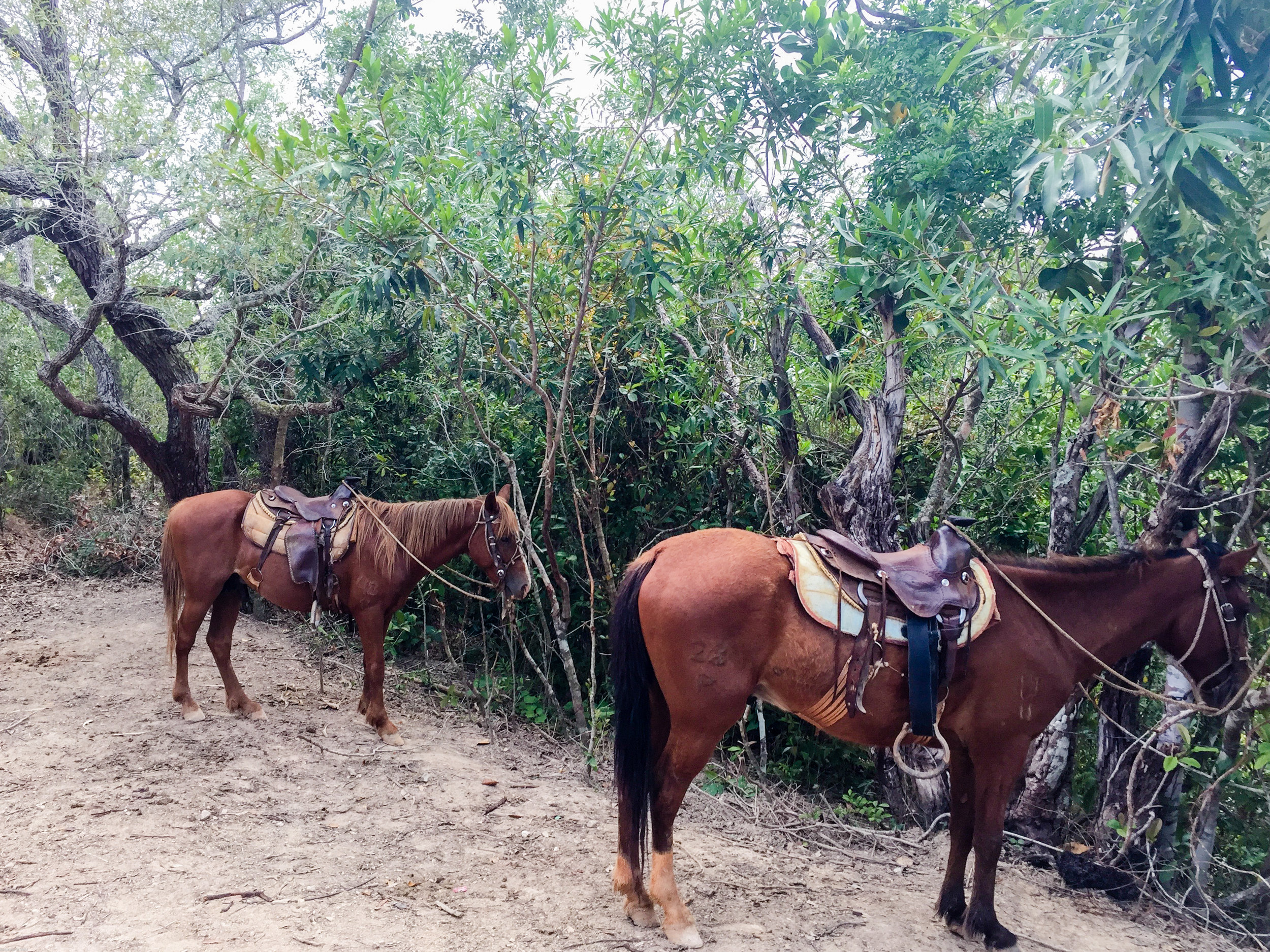 The horses we rode during our tour of Viñales