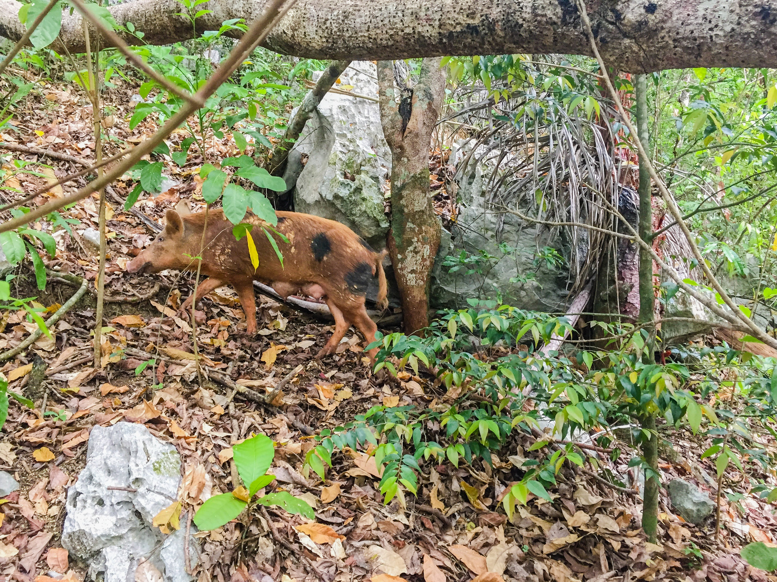 A wild boar we met in the woods on our way to some caves