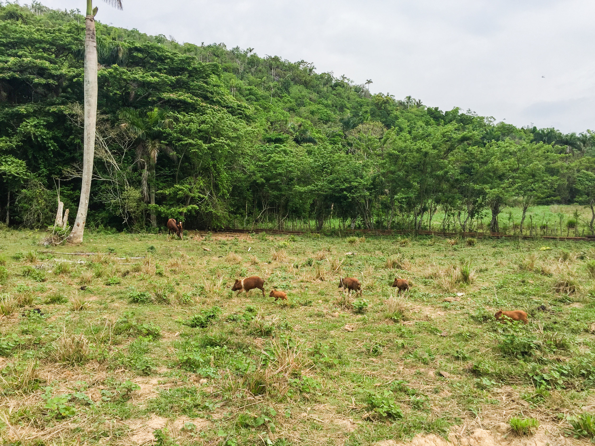 Family of wild boar in Viñales