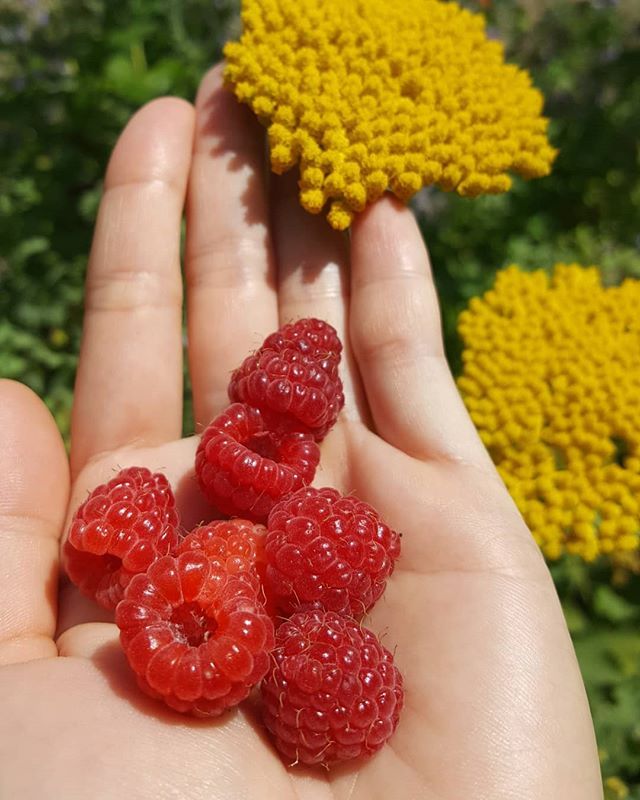 Sunday garden harvest - raspberry for smoothie and yarrow for tinctures