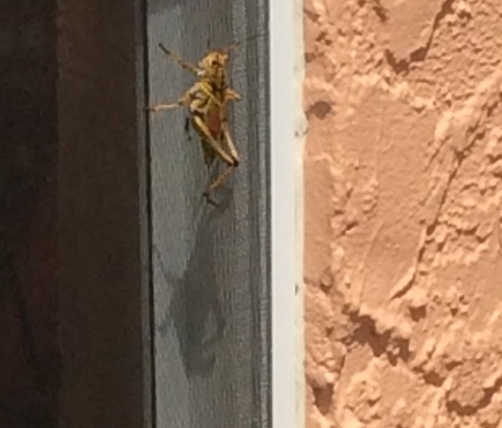 This grass hopper was 3 inches long!