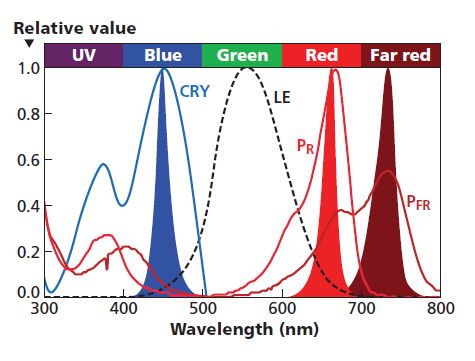 There are far more photoreceptors in plants than originally thought. The graph shows the human vision response labeled as luminous efficiency (LE) relative to the response of phytochrome red (PR) and far-red (PFR) pigments, and the cryptochrome (CRY) pigment, all relative to readily available monochromatic LED spectrum.