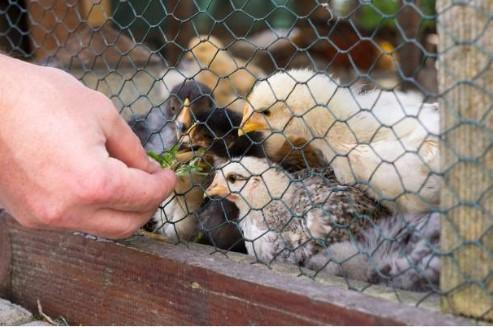 grower chicks.jpg