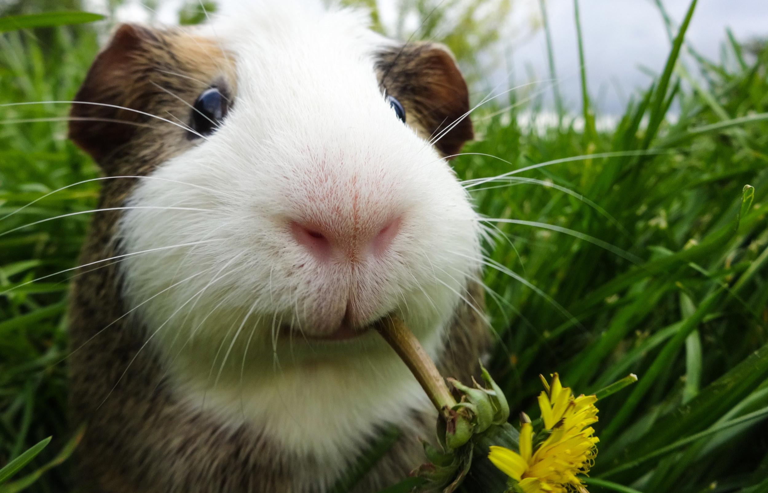 guinea+pig+in+grass+-+Copy.jpg