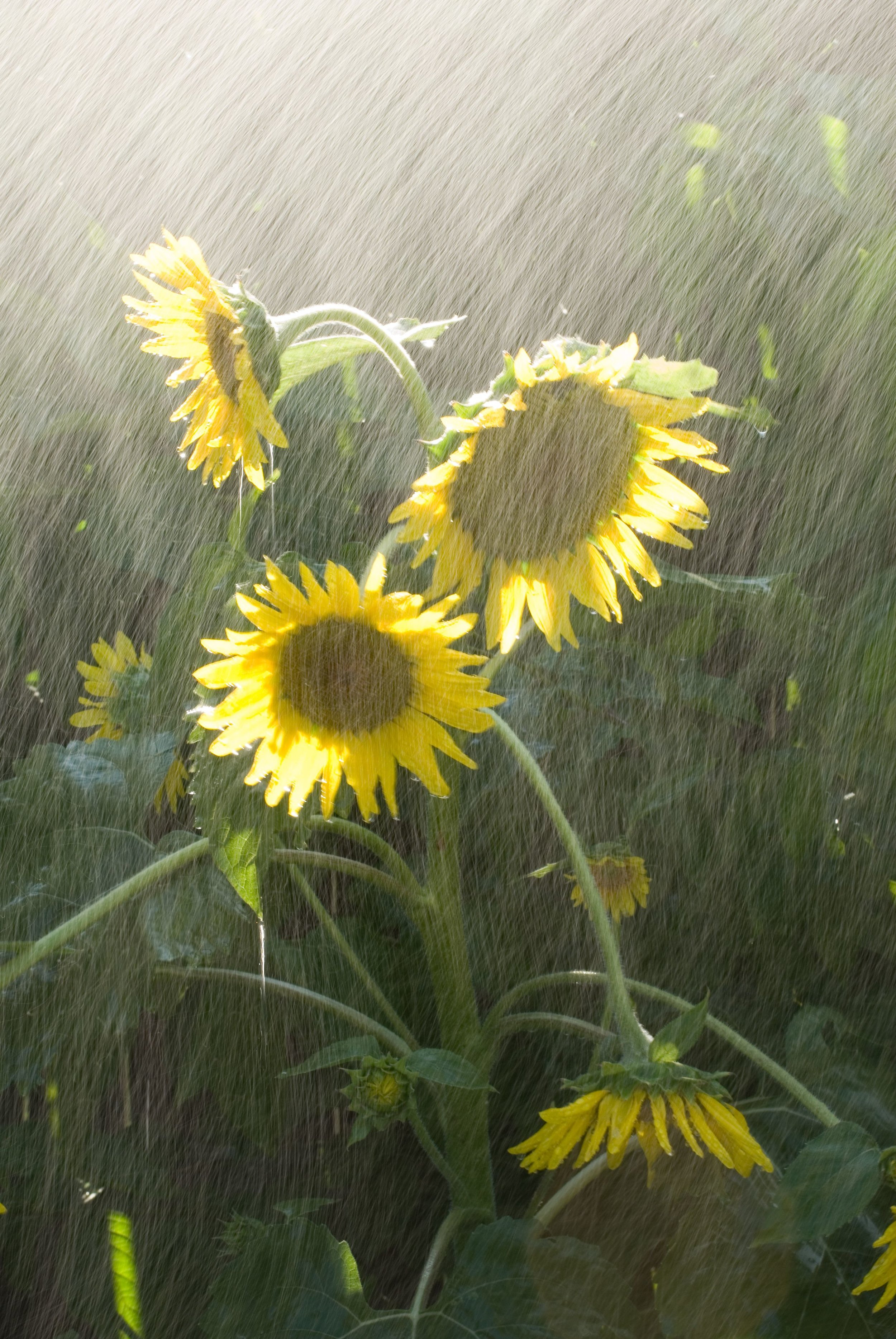 sunflowers_rain_and_sun.jpg