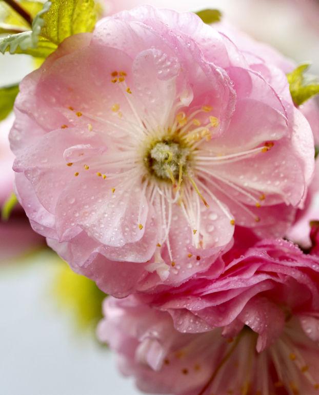 damask_rose.jpg