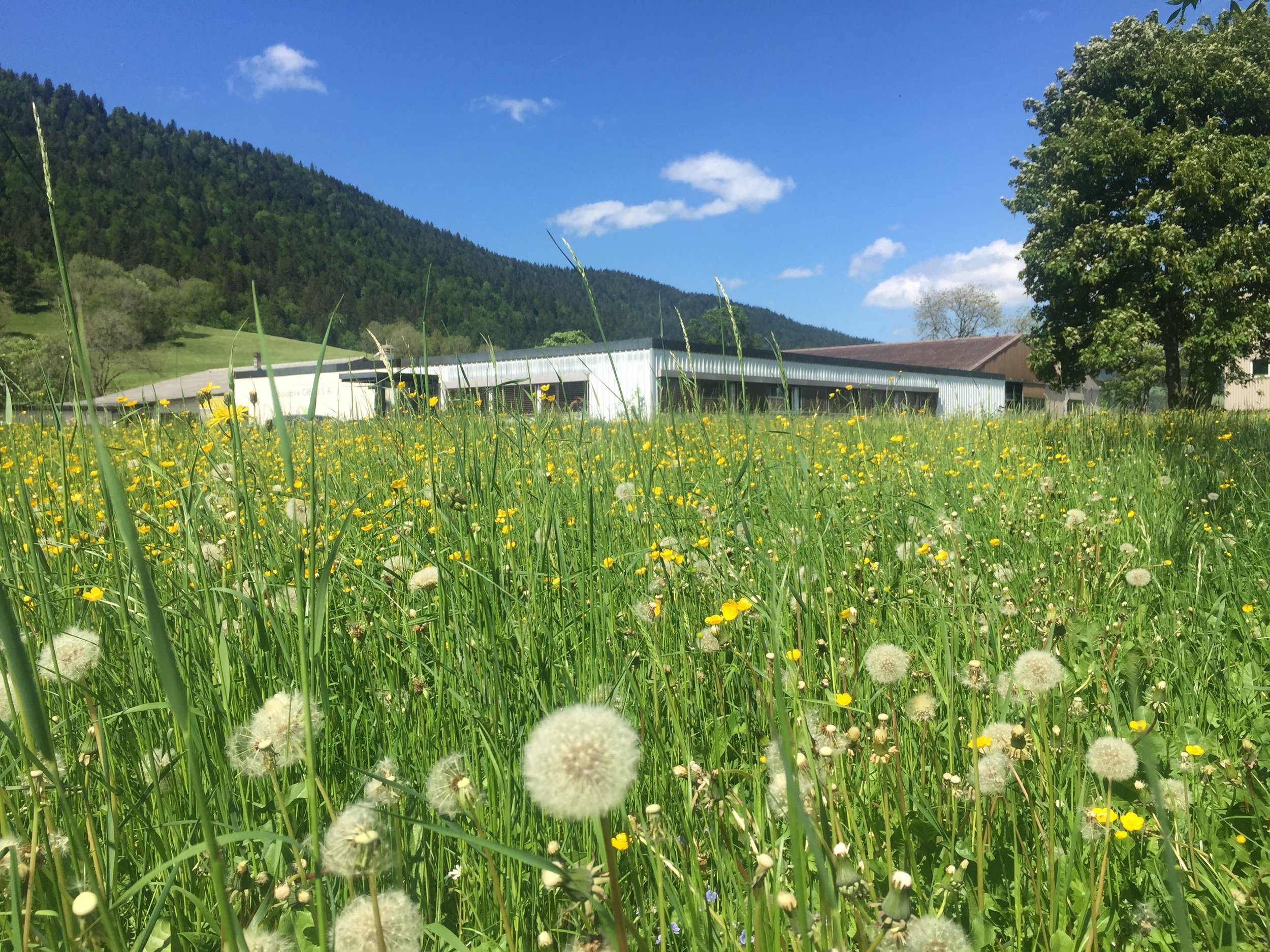 gibro-in-spring-with-dandelion-field.JPG