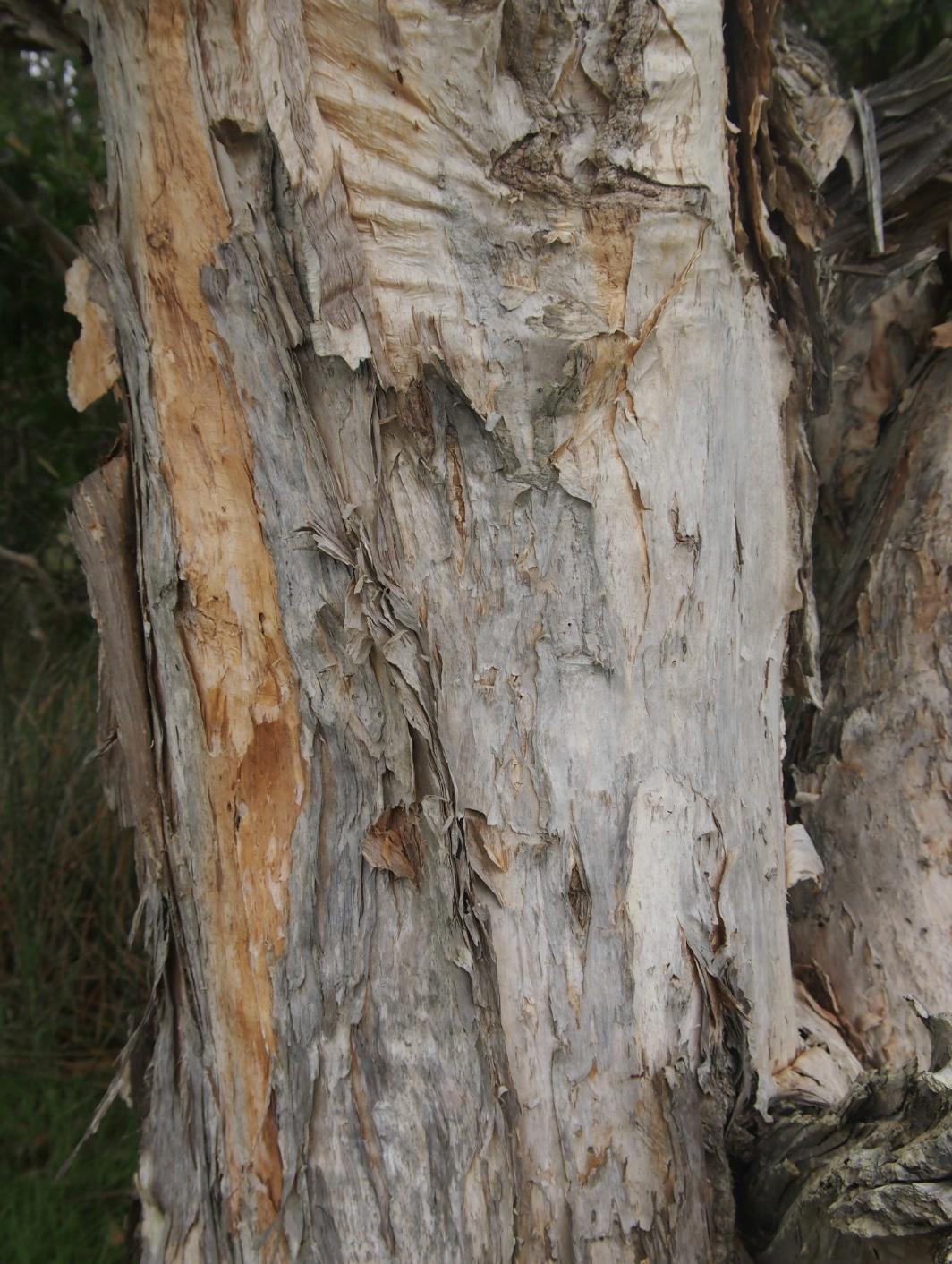 niaouli-tree.jpg