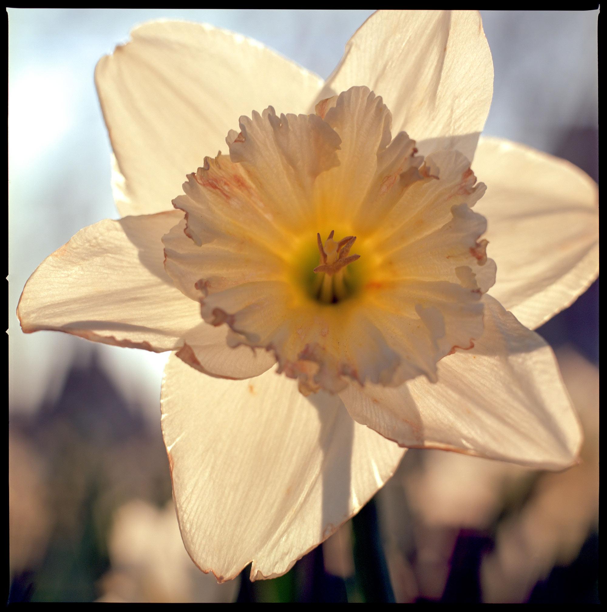 Daffodil at dawn
