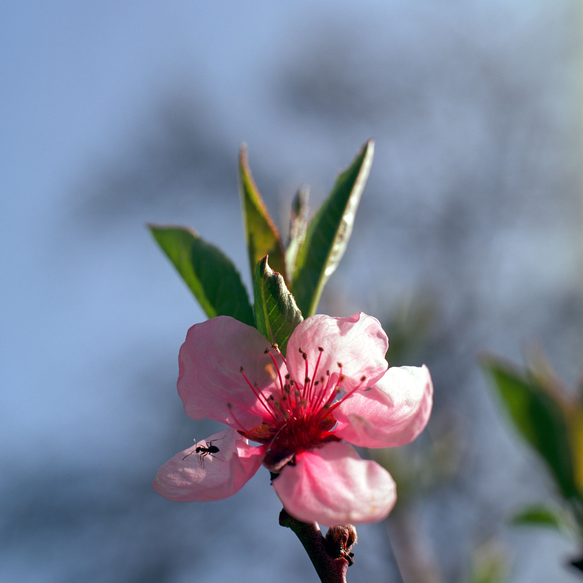 Cherry blossom with ant