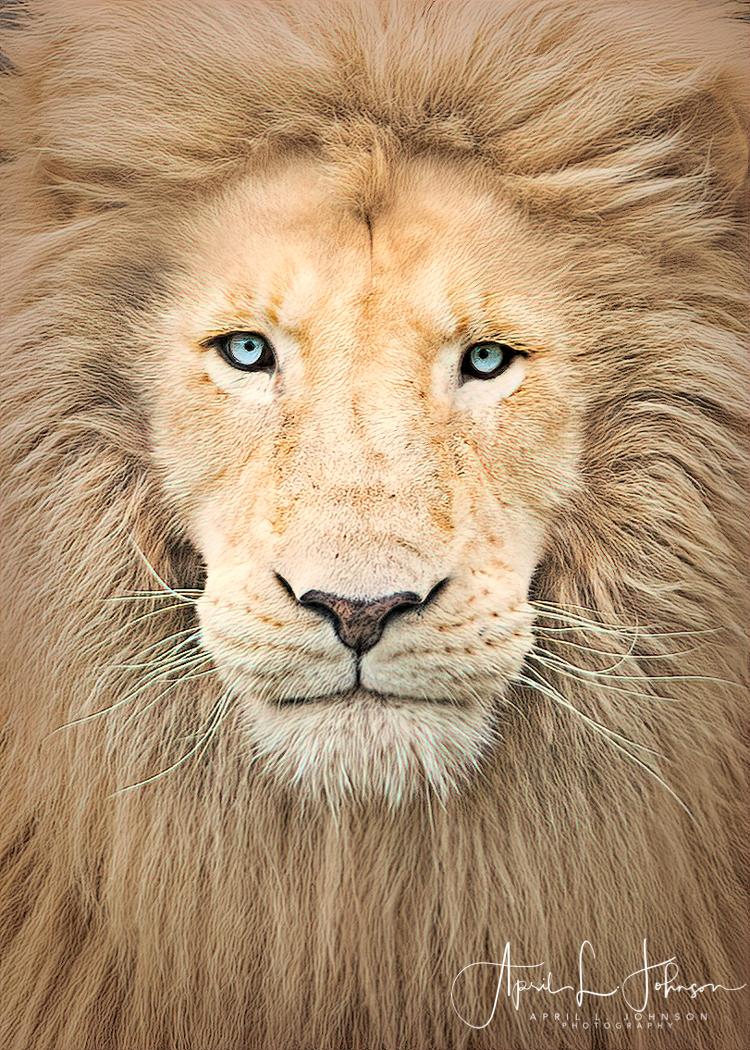 endangered white lion