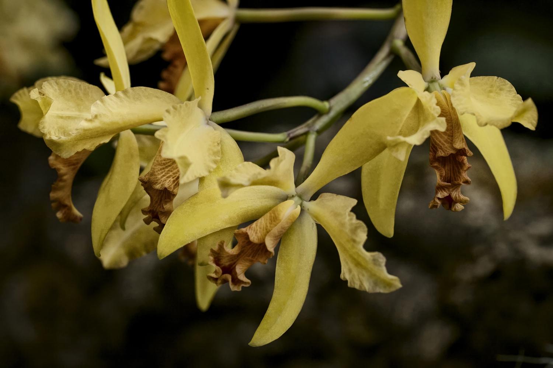 yelloworchid.jpg