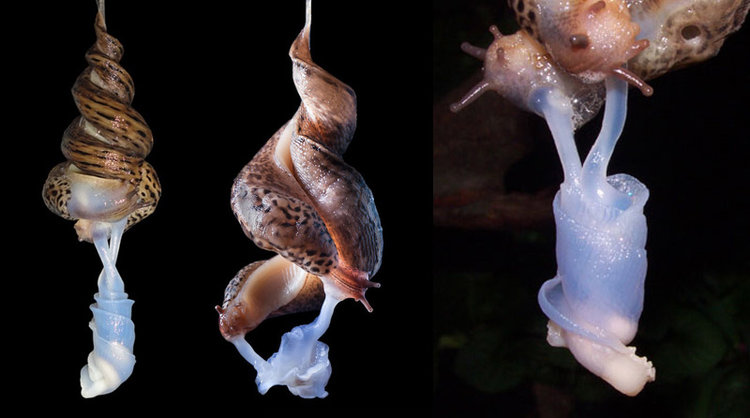 The beautiful mating dance of the European Leopard slug. Those pearly appendages are their penises.