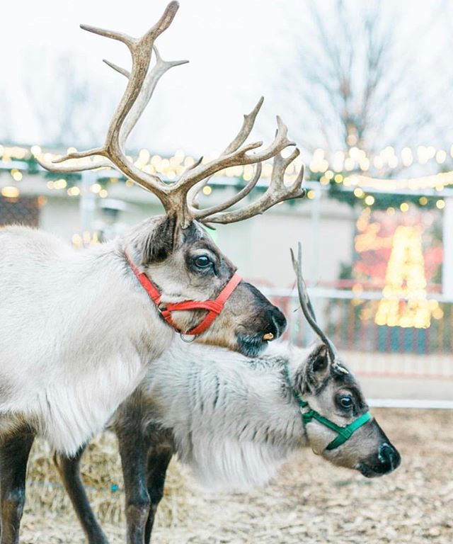 Special delivery from the North Pole!📍🦌 Reindeer, Jolly and Nick at @cheekwood. Merry Christmas! ✨❤️💚 #Nashville #nashvilleevents #cheekwood #nashvillehidays #fifthandb #nashvillesyle • . . . . . #reindeer #reindeergames #santa #christmas #cheekwoodlights #nashvillesnow #nashvillesnowday #reindeercrossing #nashvillelights #nashvillescene #reindeersiting #tennessee #nashvilletn #holiday #holidayspirit #fifthandbroadway #christmasmorning #merrychristmas