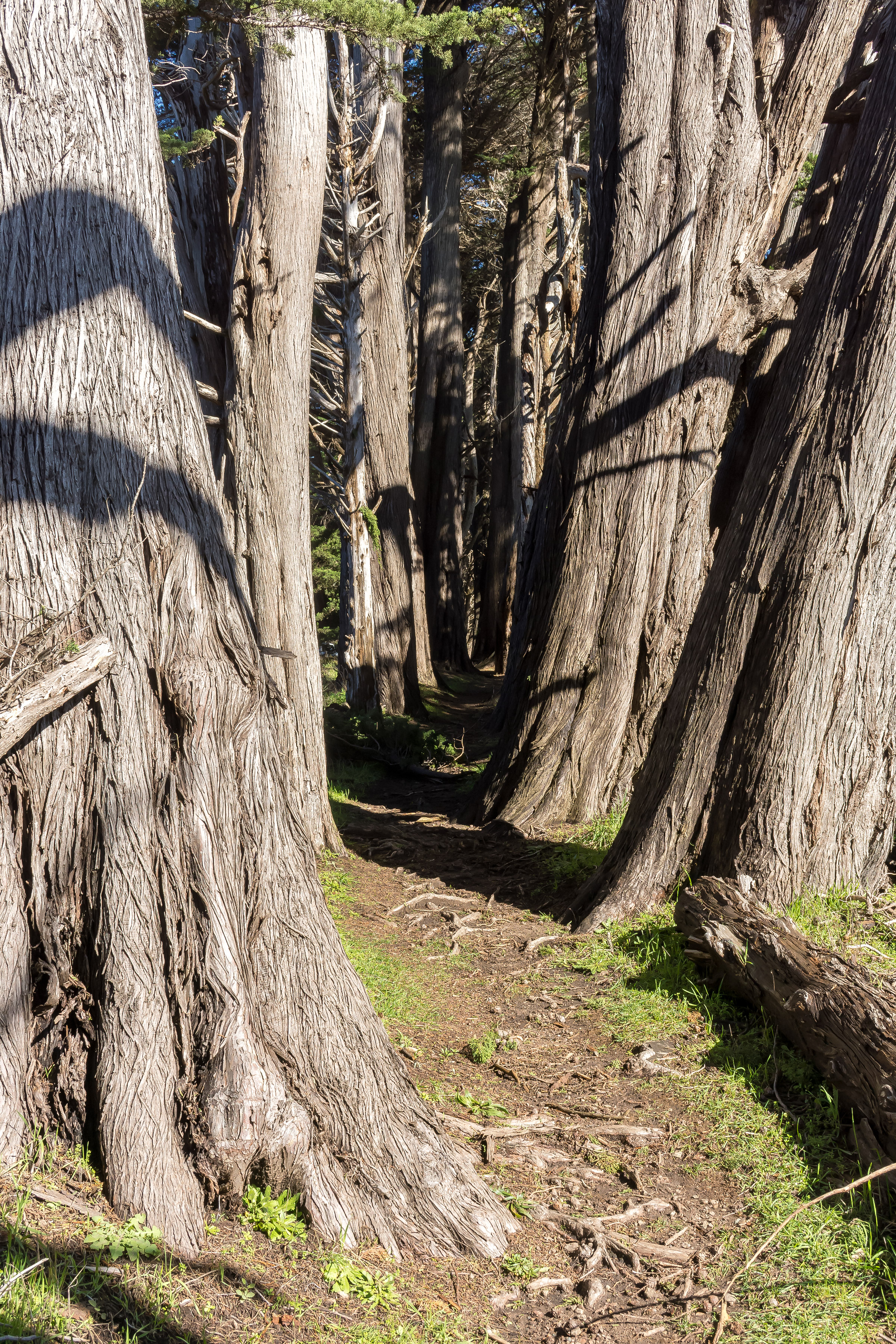 Towering Cypress Tree Tunnel