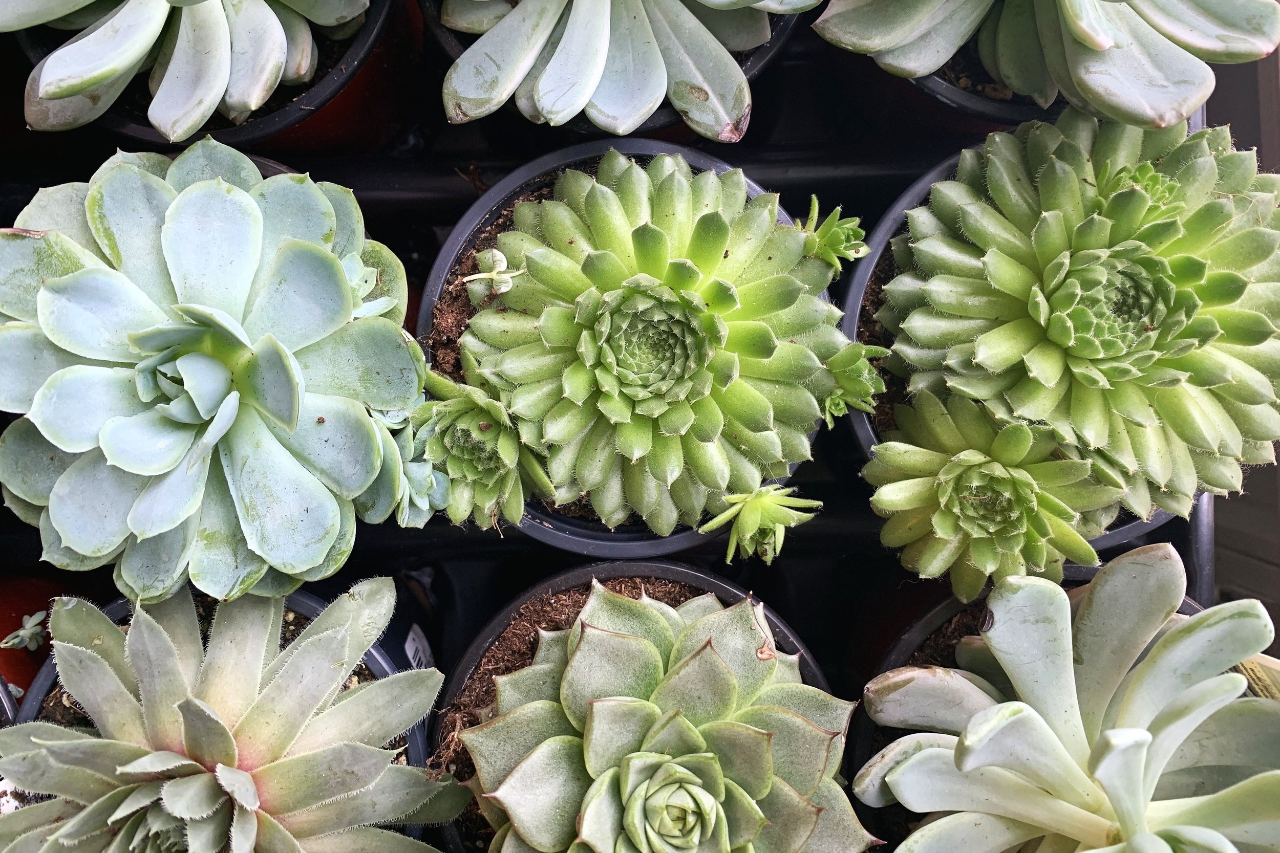 Succulents ready for your windowsill!