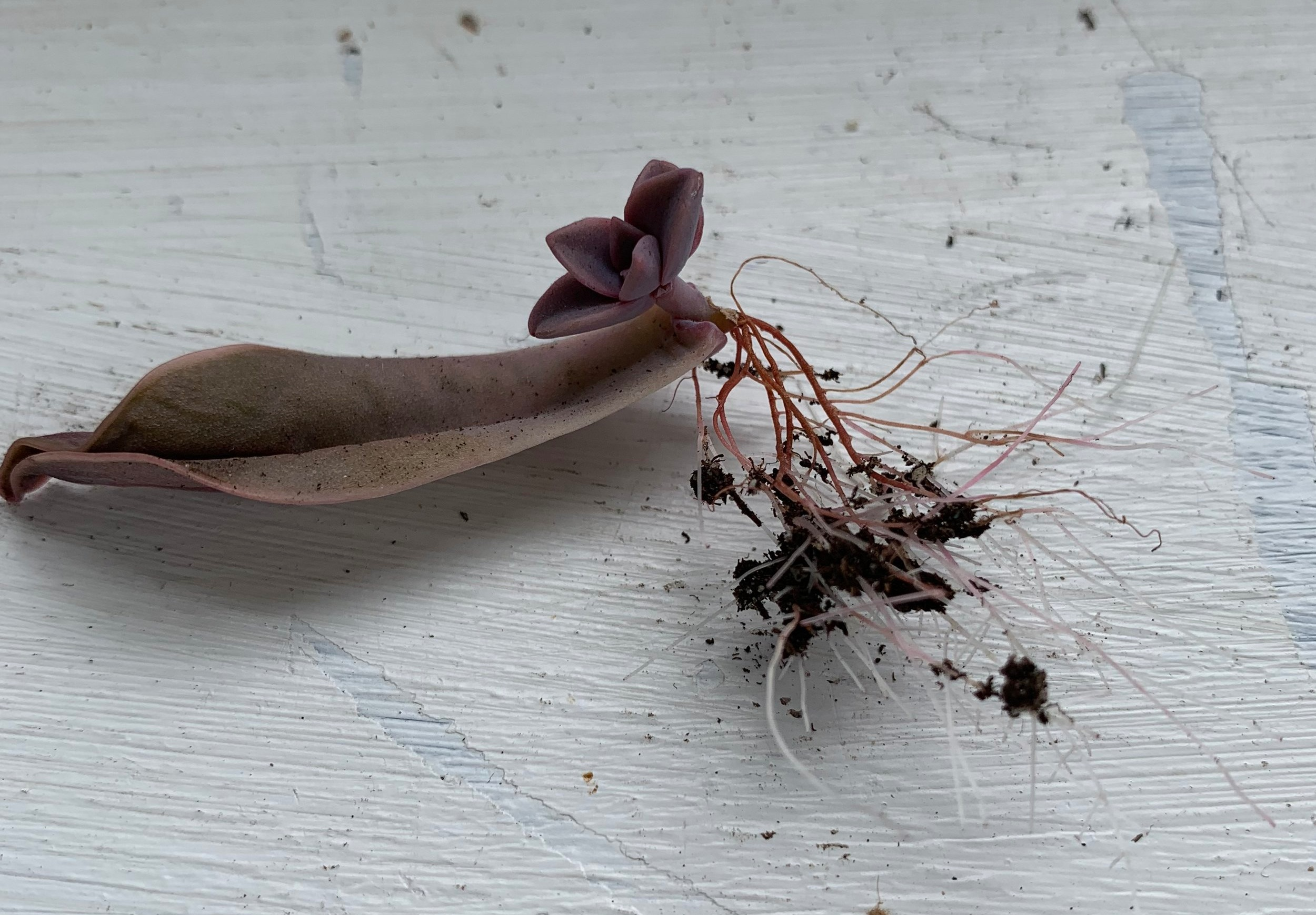 Roots on a succulent propagation. Notice how a pup has formed on the original leaf cutting.