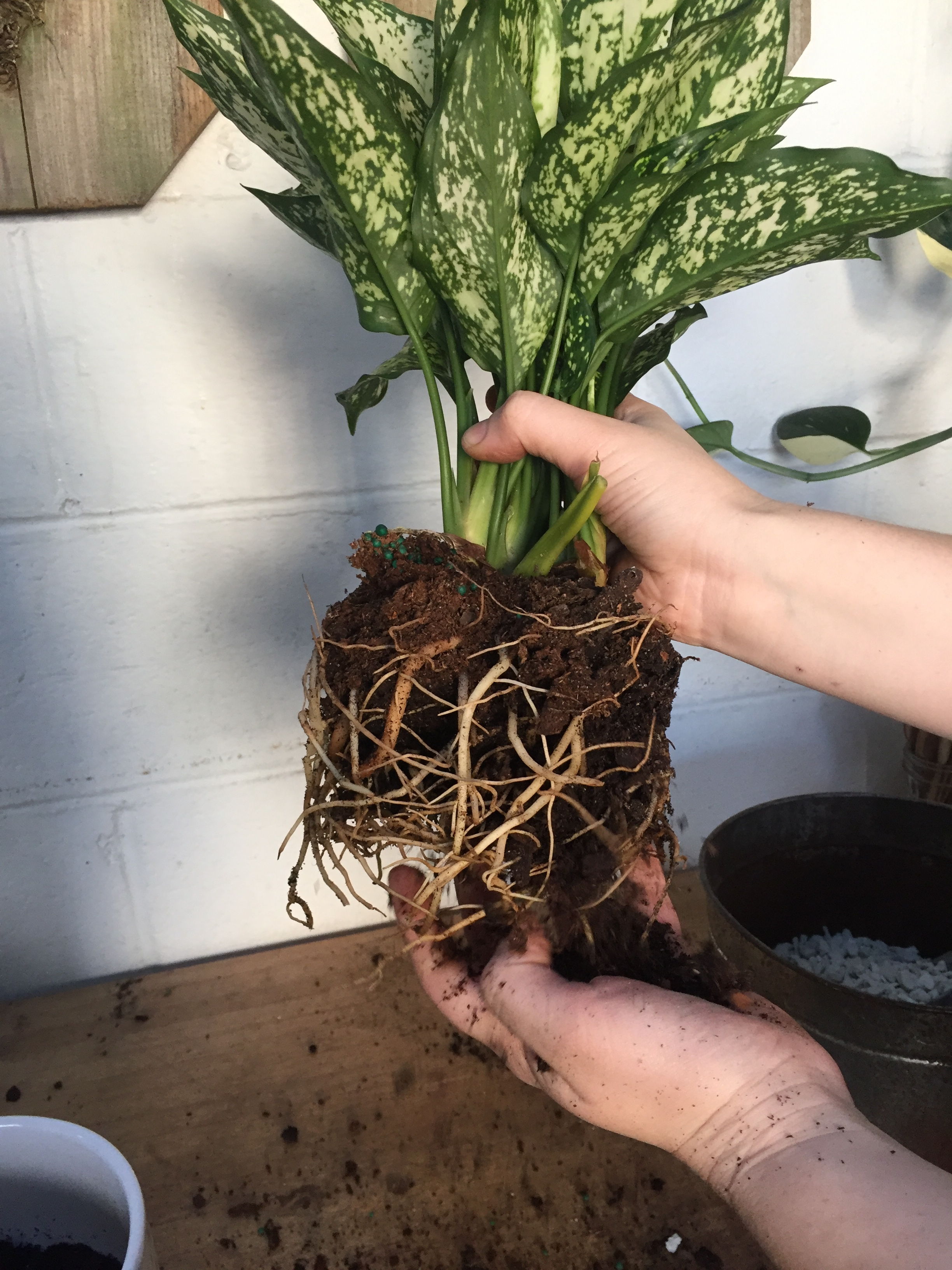 This Aglaonema 'Spring Snow' definitely needs more room. You can see a ton of roots that were pressed up against its previous pot without brushing any soil away.