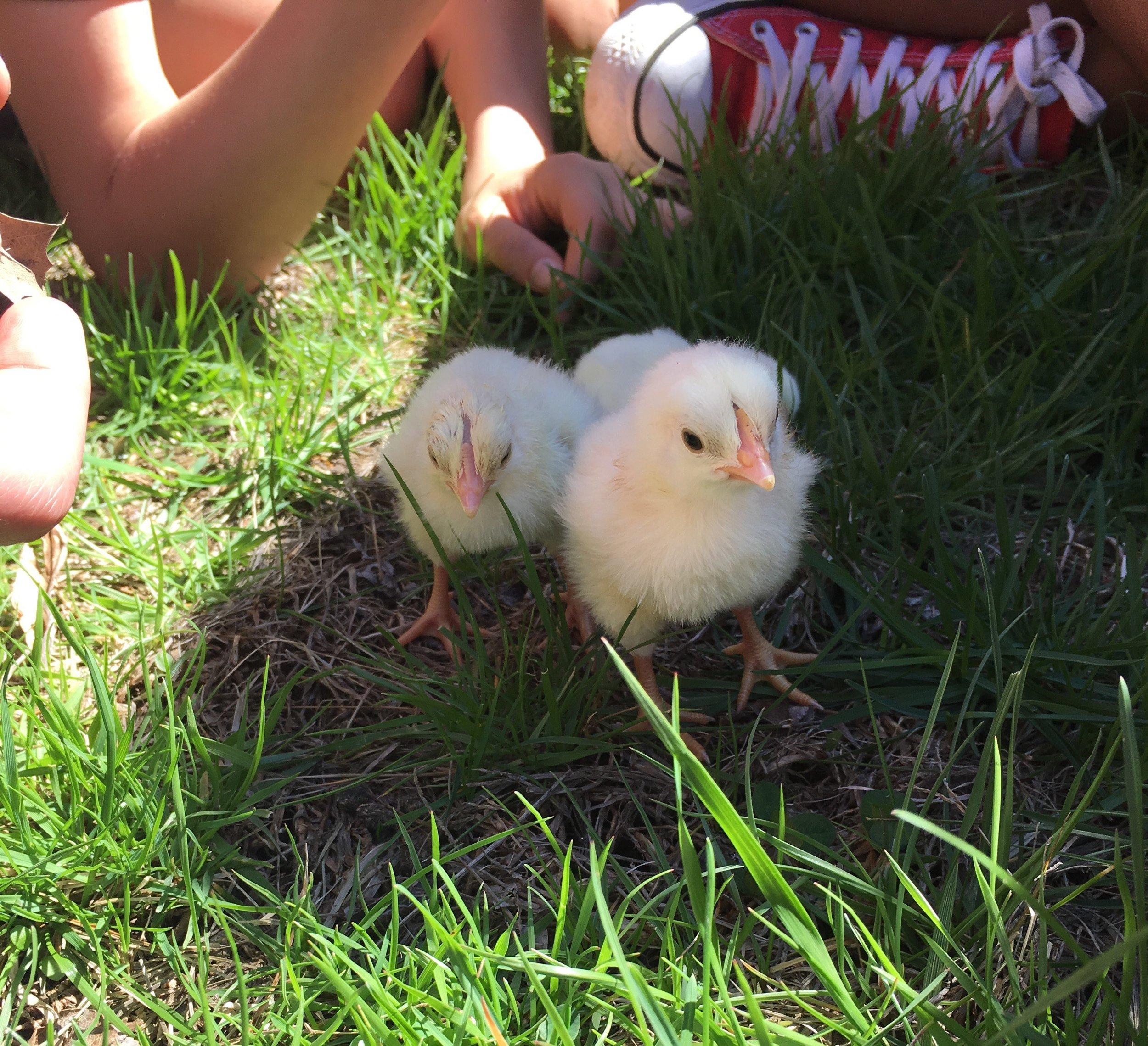 spring chicken (2).jpg