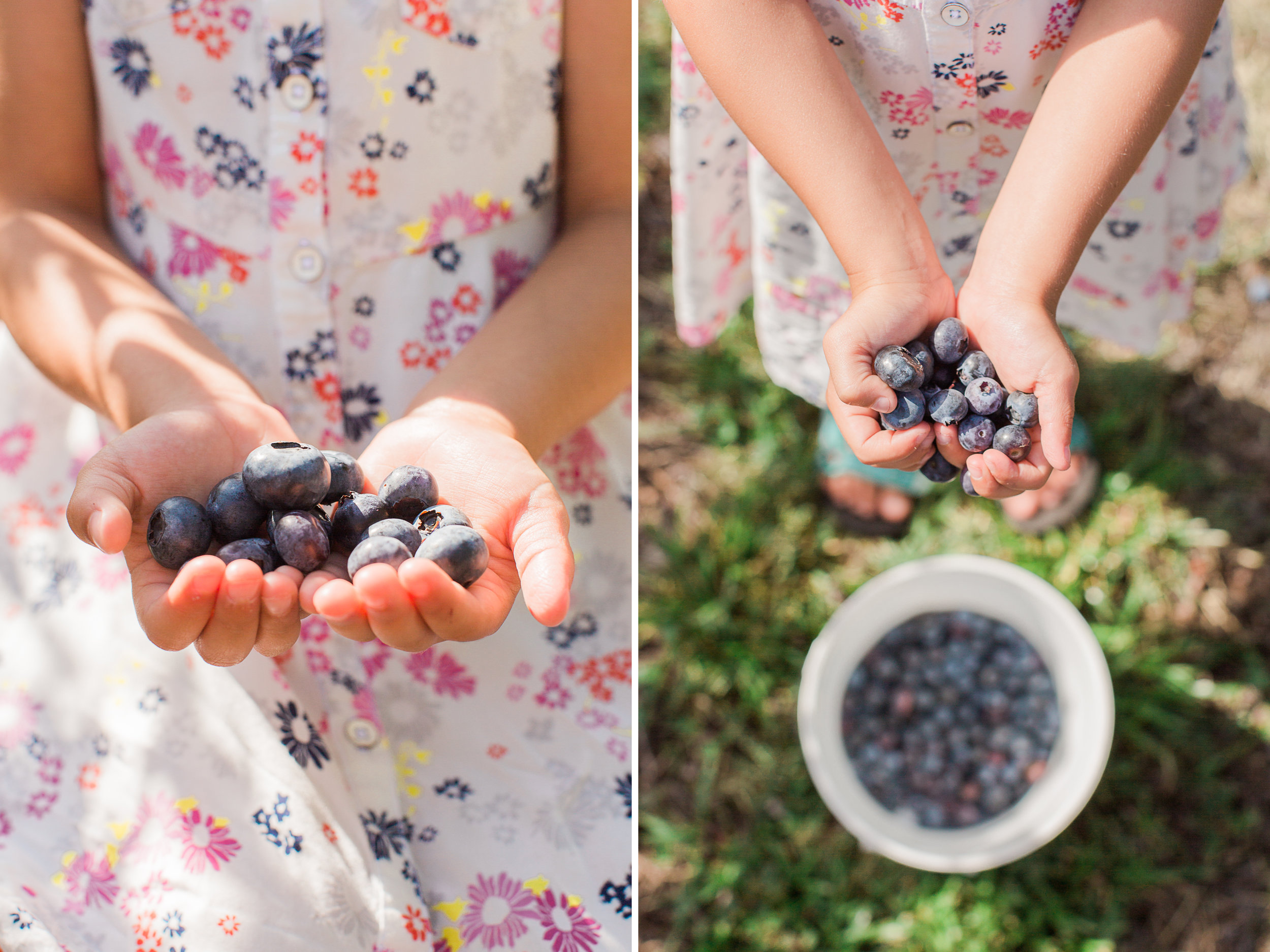 Beck Brothers Blue Berry Picking 2.jpg