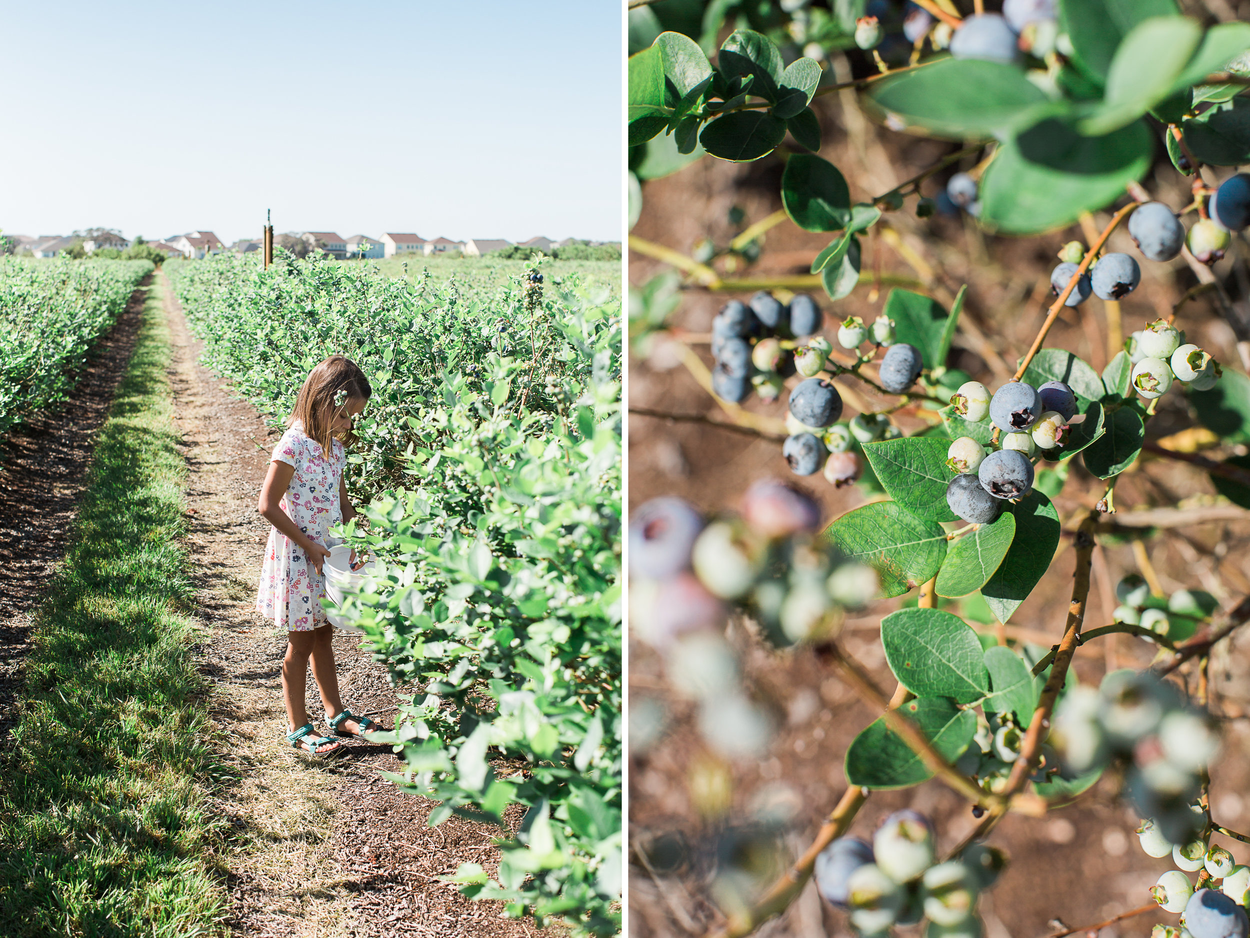 Beck Brothers Blueberry Picking.jpg