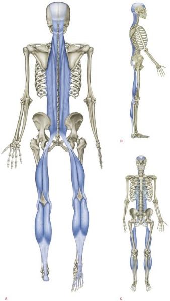 carlsbad chiropractor superficial back line 92011.jpg