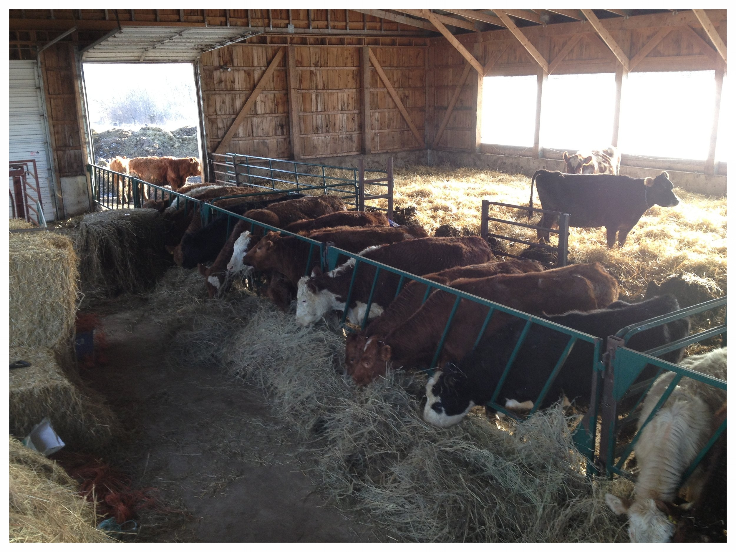 Calves enjoying organic hay.