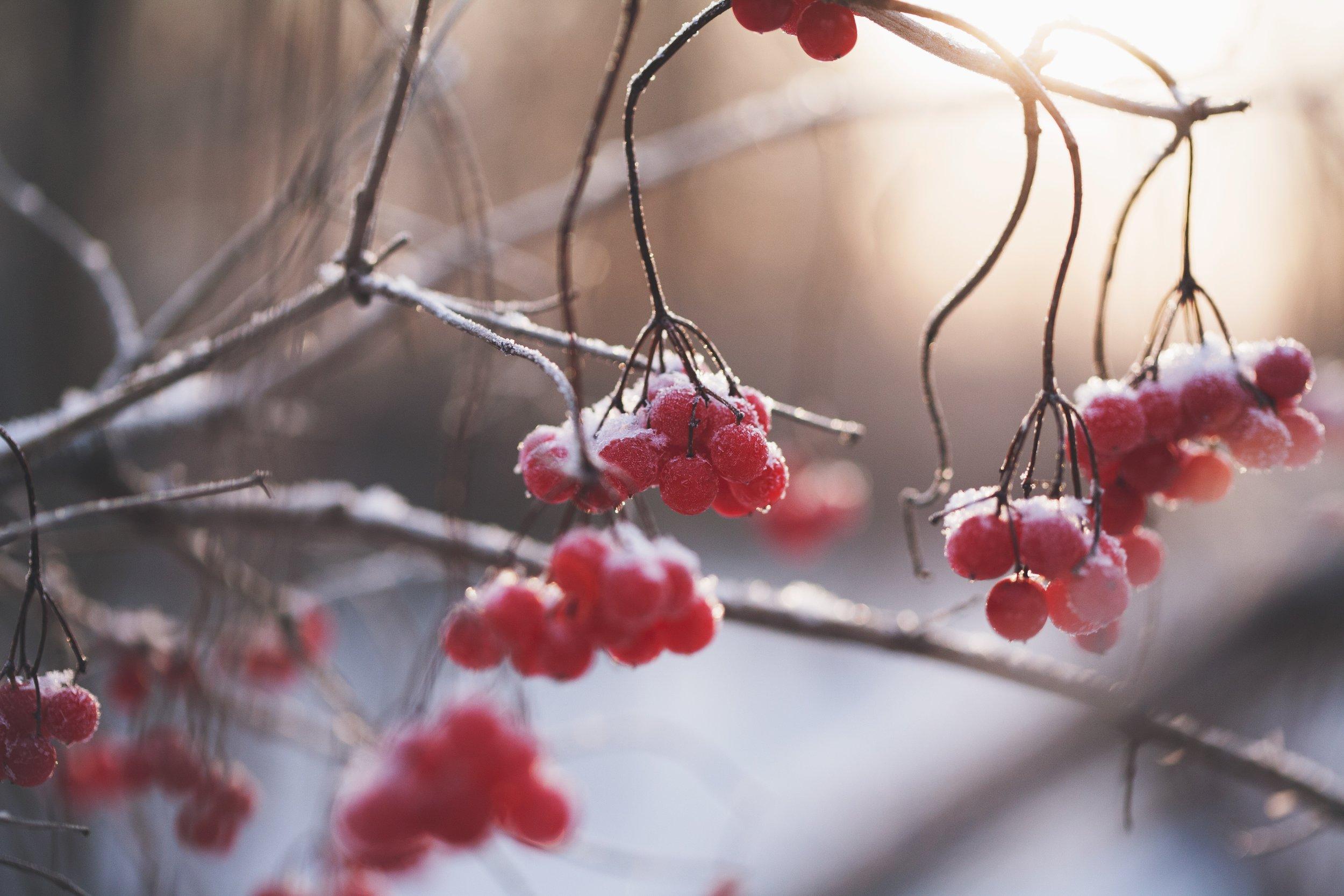 Red Winterberries-hydl8uarcn8-maria.jpg