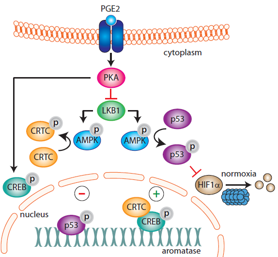 Aromatase promoter PII regulation in obesity and breast cancer