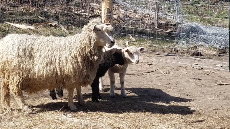 """Frida"", a Cotswold Cross ewe, with babies ""Shadow"" and ""Sunshine""."