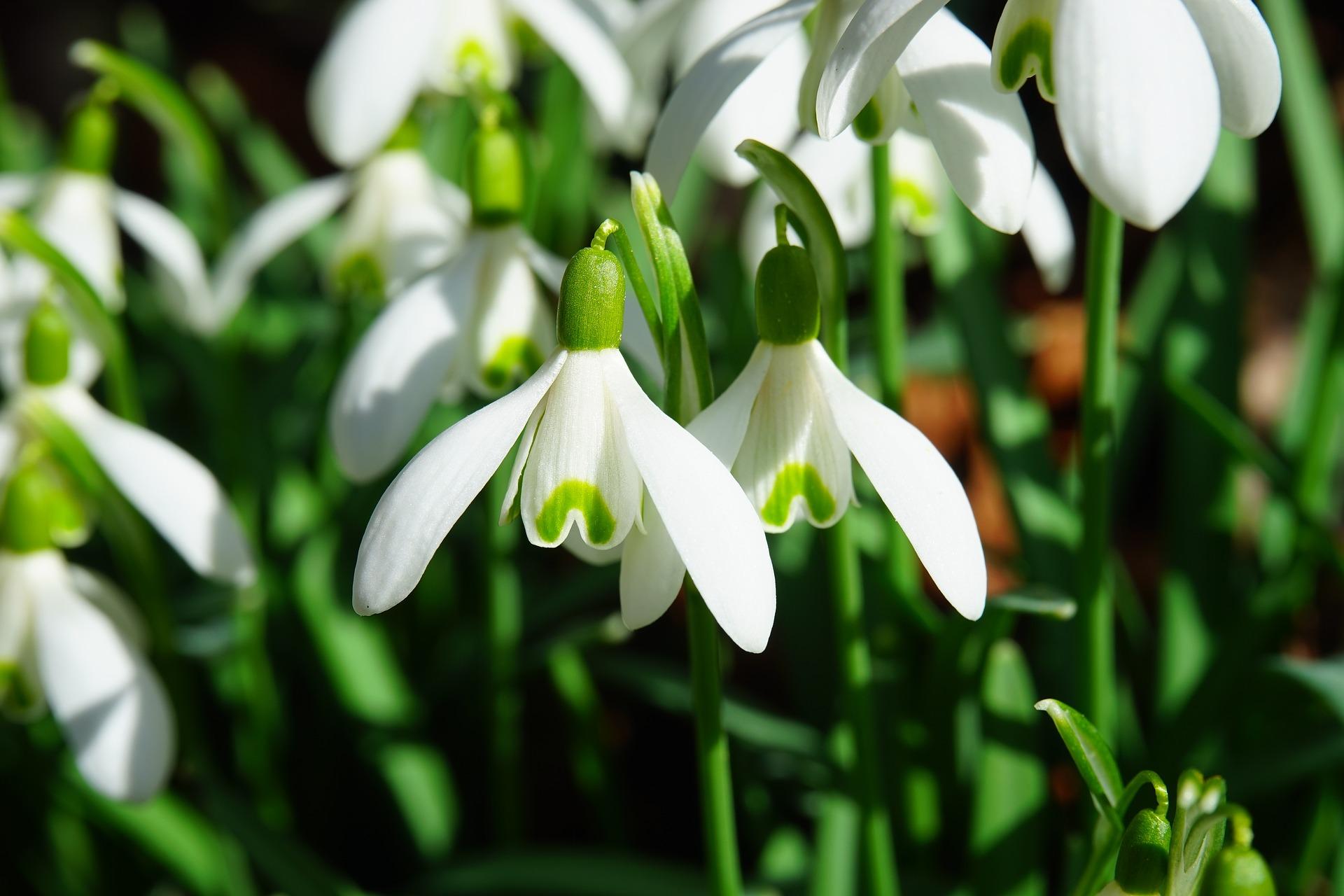 snowdrop-1025050_1920.jpg