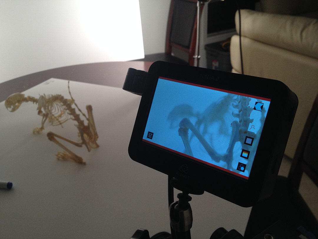 Filming one of my skeletons in my dining room.