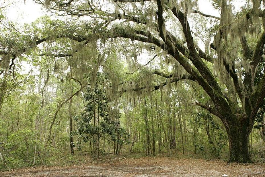 A close-up view of Spanish moss hanging from a Cypress tree
