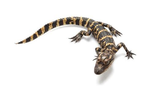 A baby alligator (Fluffy? Gimme a break!)
