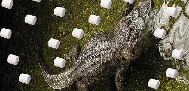 Swamp gators eating marshmallows in Louisiana