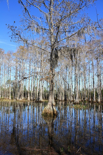 Bald cypress in a swamp – this tree can live up to 600 years