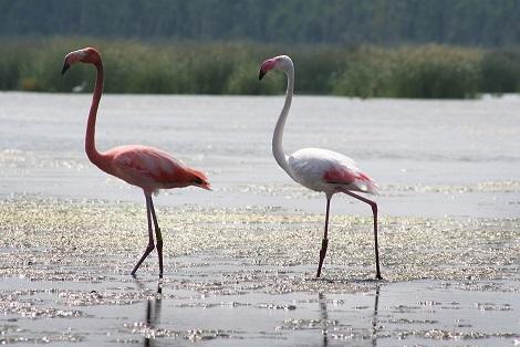 Elegant flamingoes strut their stuff