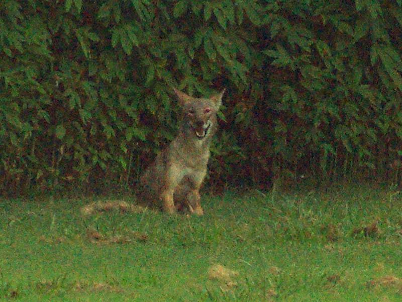 Millennial coyote photobomb. Photo Credit: Chris Jackson