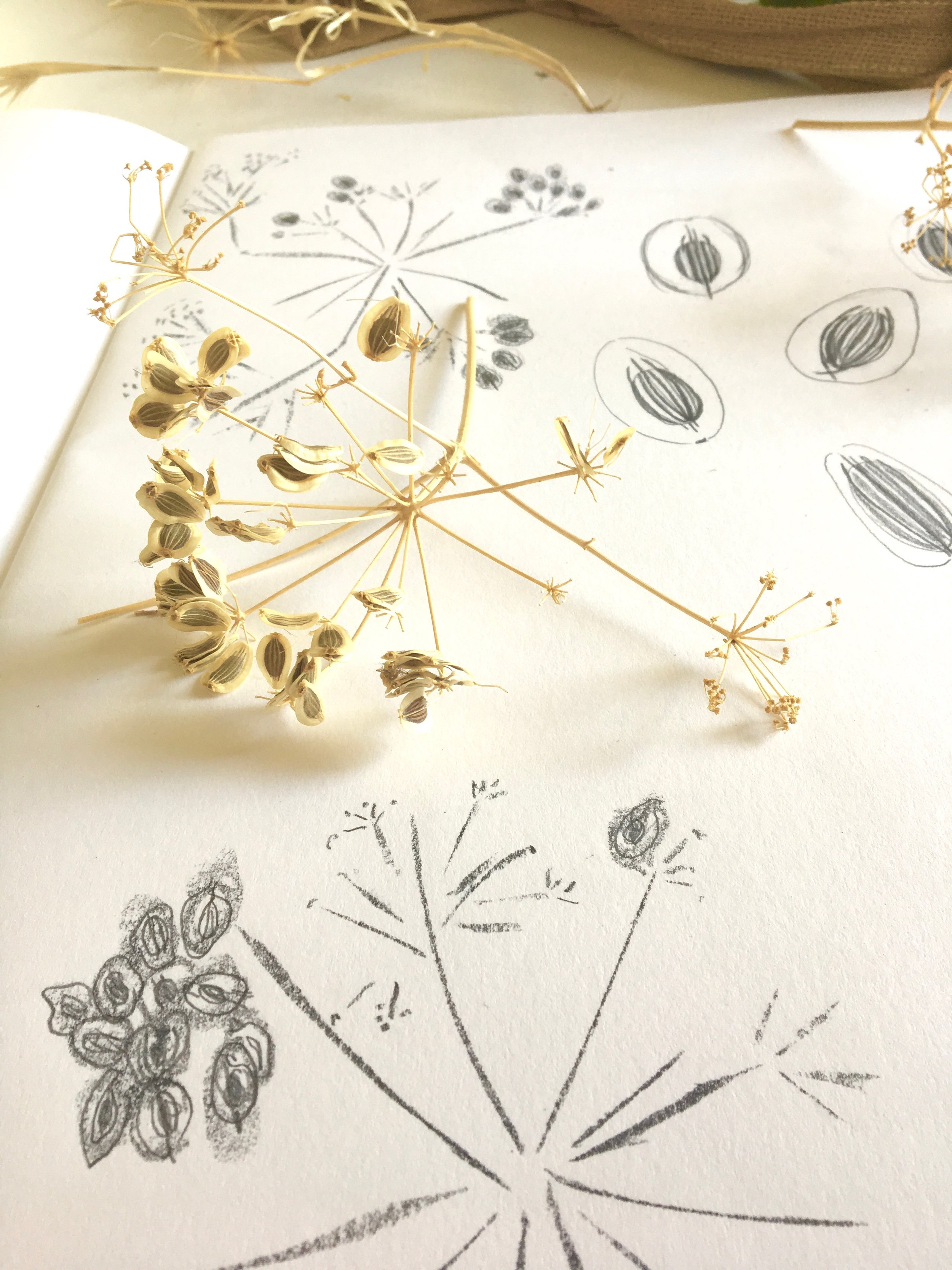 Seedhead and sketches