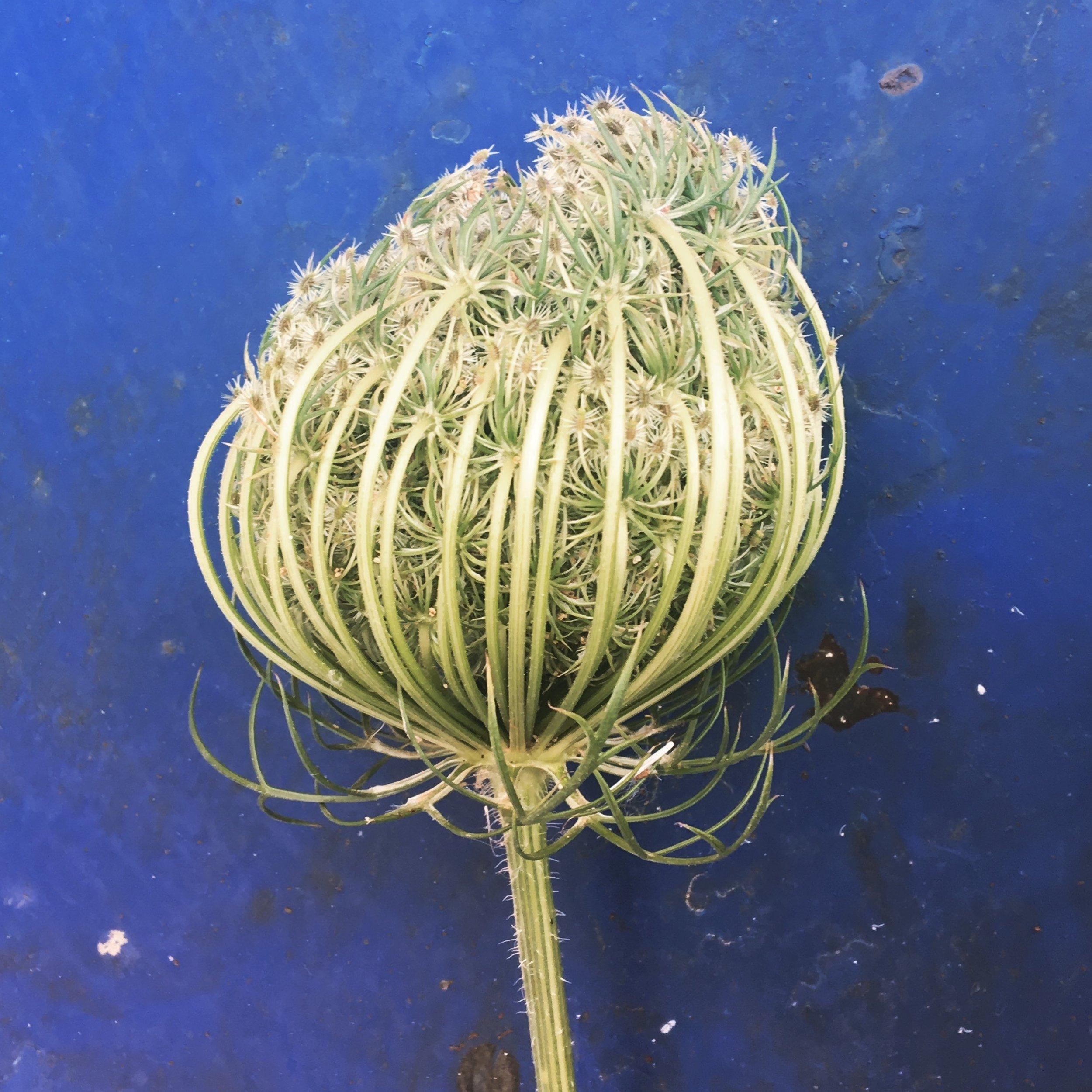 Seedhead on blue background